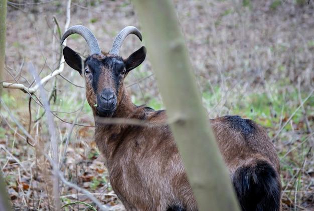 Cabra marrón en pasto en un recinto arbolado