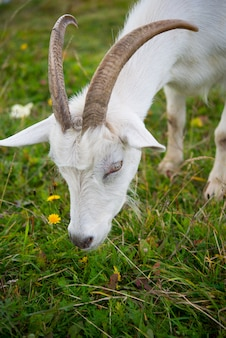 Cabra. retrato de una cabra en una granja en el pueblo. hermosa cabra