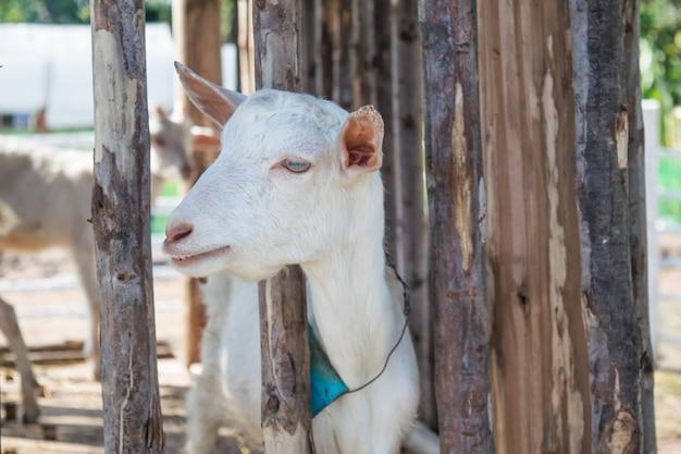 Cabras blancas en la granja