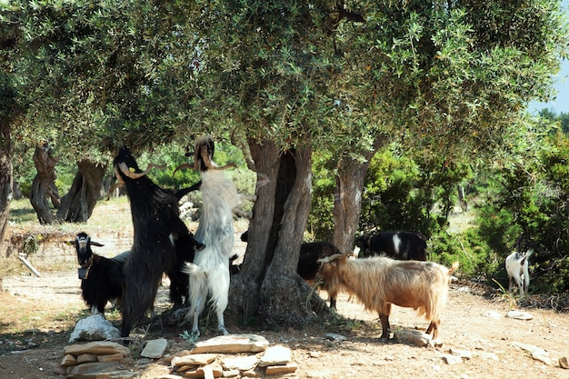 Cabras comiendo aceitunas de un árbol