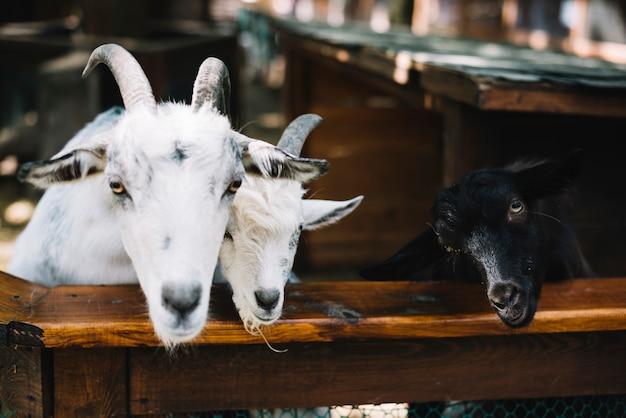 Cabras en el establo