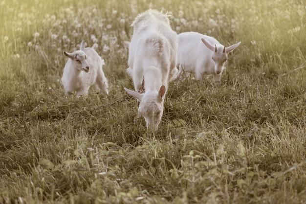 Cabras de la familia local en el patio de casa de pueblo. cabras de pie entre la hierba verde