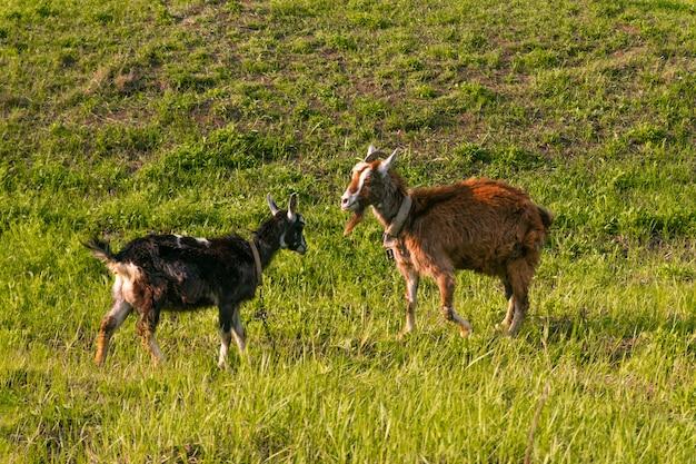 Las cabras pastan en el prado, comen hierba en un día soleado