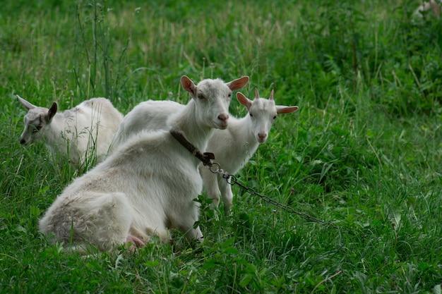 Cabras de pie entre la hierba verde