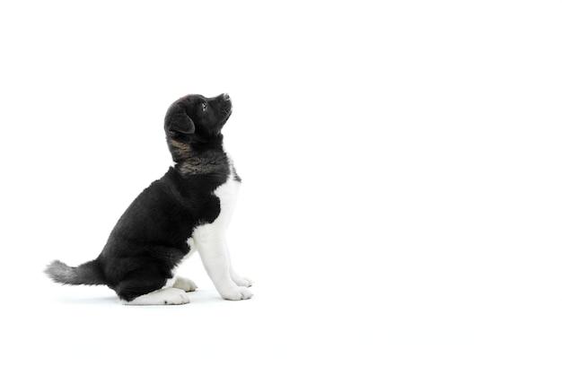 Cachorro de akita americano