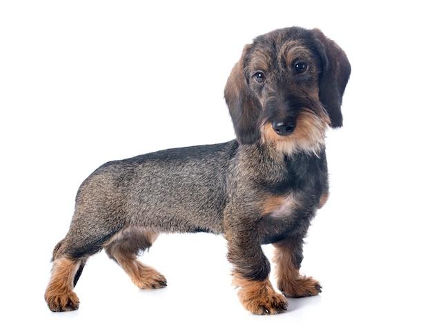 Cachorro alambre pelo dachshund
