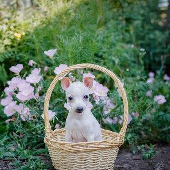 Cachorro (american hairless terrier) se sienta en una canasta sobre un fondo de hierba y flores