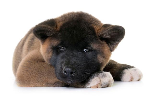 Cachorro americano akita