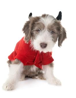 Cachorro barbudo collie
