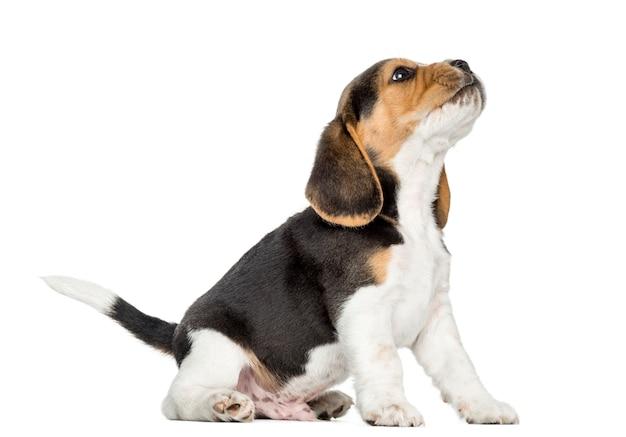Cachorro beagle aullando, mirando hacia arriba, aislado en blanco