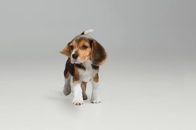 Cachorro beagle tricolor está planteando. lindo perrito o mascota blanco-braun-negro está jugando sobre fondo blanco.