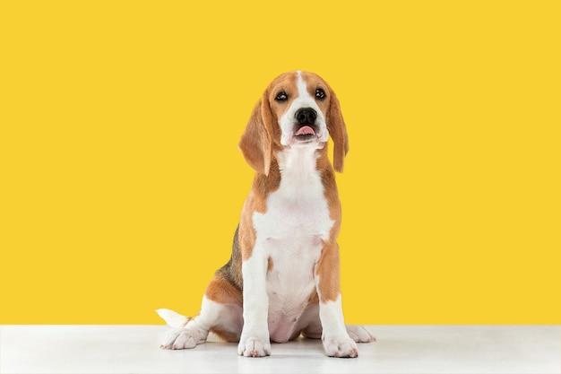 Cachorro beagle tricolor está planteando