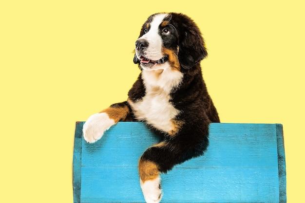 Cachorro berner sennenhund posando dentro de bolsa azul