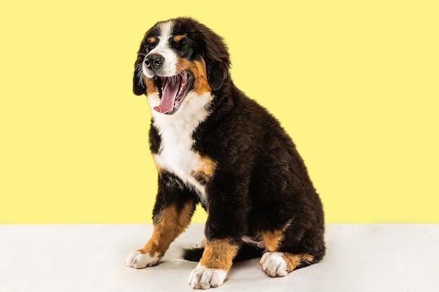 Cachorro berner sennenhund posando