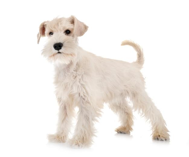 Cachorro blanco schnauzer miniatura