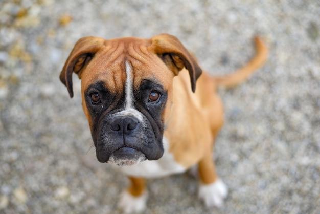 Cachorro de boxeador alemán tirado en el suelo