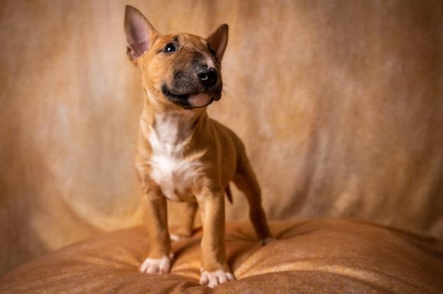 Cachorro bull terrier miniatura marrón mirando hacia arriba