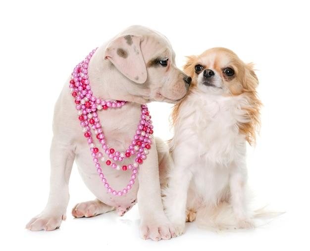 Cachorro de bulldog americano y chihuahua
