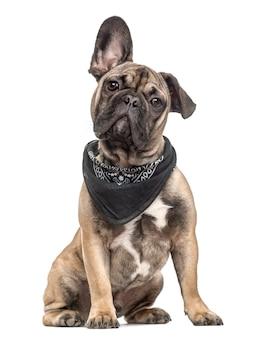 Cachorro bulldog francés con una bufanda, aislado en blanco