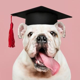 Cachorro de bulldog genio