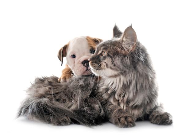 Cachorro de bulldog inglés y un gato sobre un fondo blanco.