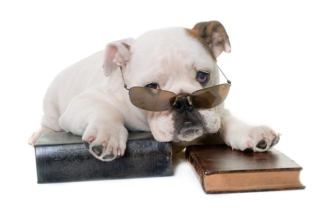 Cachorro bulldog inglés leyendo