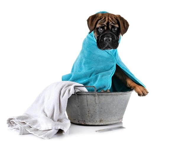 Cachorro bullmastiff en el baño