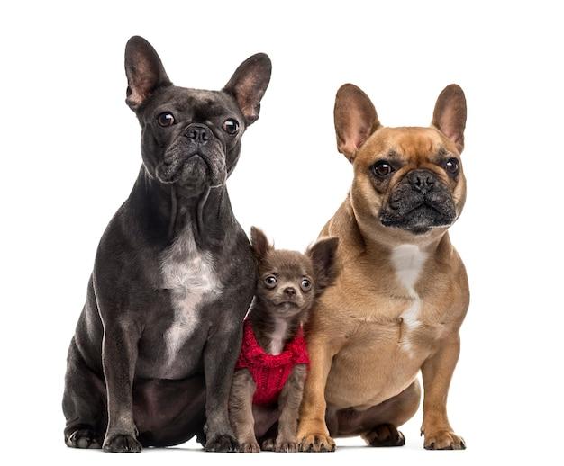 Cachorro de chihuahua y dos bulldogs franceses