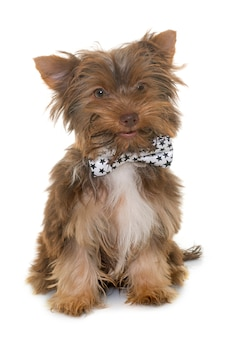 Cachorro de chocolate yorkshire terrier