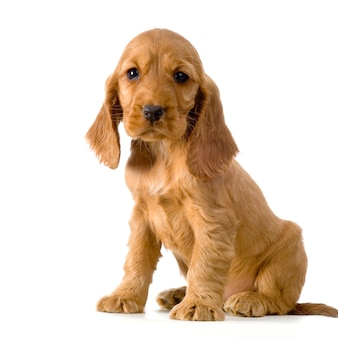 Cachorro cocker spaniel inglés