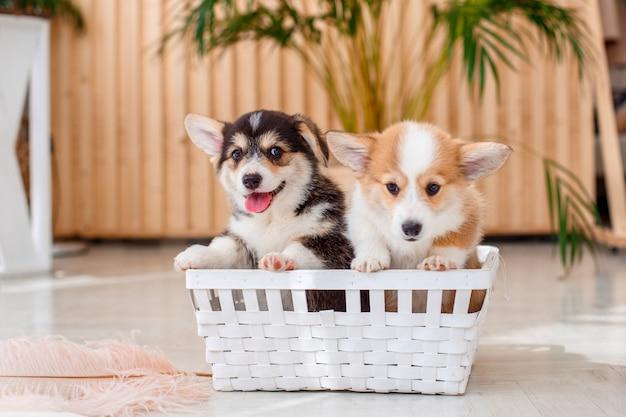 Cachorro corgi welsh pembroke sentado en una canasta