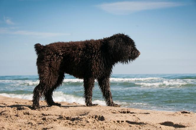 Cachorro de bouvier des flandres divirtiéndose en la playa