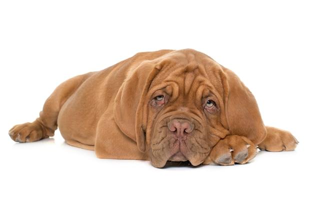 Cachorro dogo de burdeos