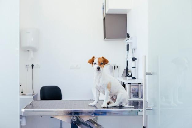 Cachorro enfermo a punto de someterse a una revisión en el hospital