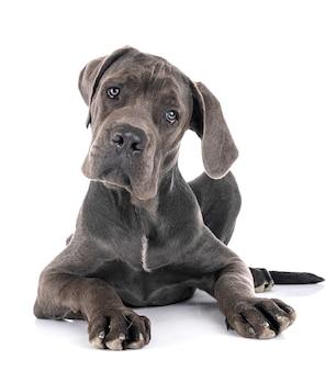 Cachorro gran danés