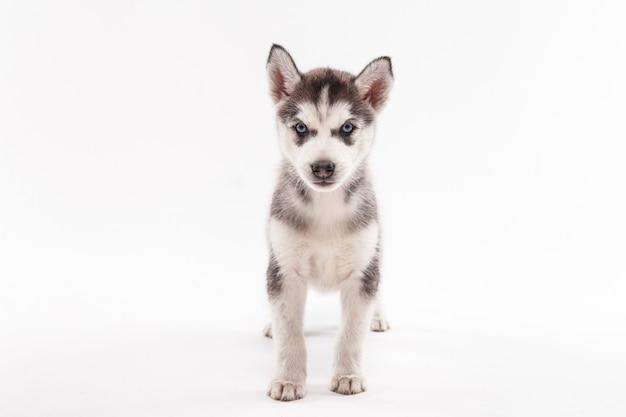Cachorro husky en blanco