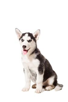 Cachorro de husky siberiano aislado en un fondo blanco. un perro se sienta y mira a la cámara.