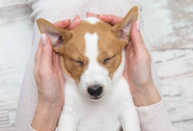 Cachorro jack russell perro durmiendo terier las manos