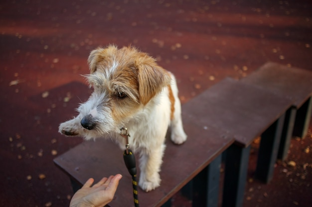 El cachorro de jack russell terrier le da una pata a una niña al mando