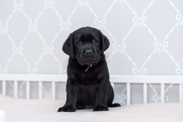 Cachorro labrador negro jugando en la cama.