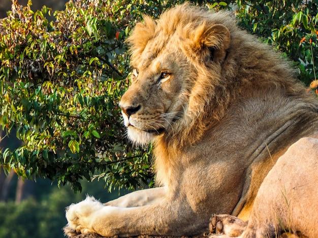 Cachorro de león descansando en la sabana tanzana
