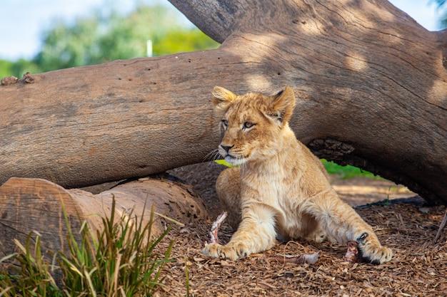 Cachorro de león joven que miente debajo de tronco de árbol.