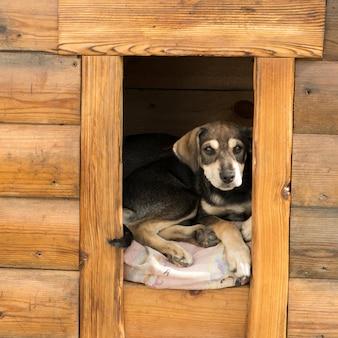 El cachorro mira fuera de la caseta del perro.
