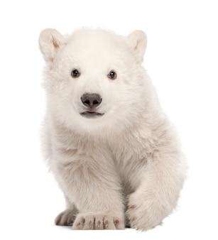 Cachorro de oso polar, ursus maritimus sentado contra el fondo blanco.