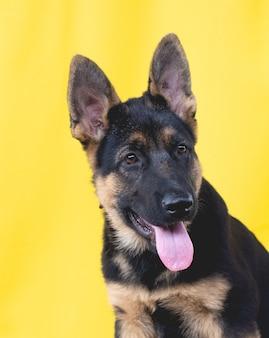 El cachorro de pastor alemán