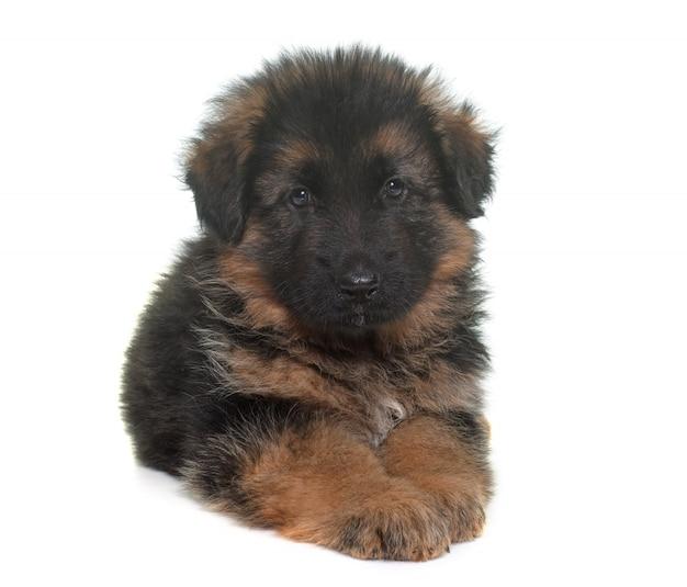 Cachorro pastor alemán
