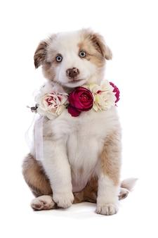 Cachorro de pastor australiano con flores en blanco aislado