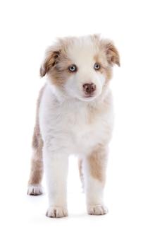 Cachorro de pastor australiano de pie mirando hacia adelante en blanco aislado
