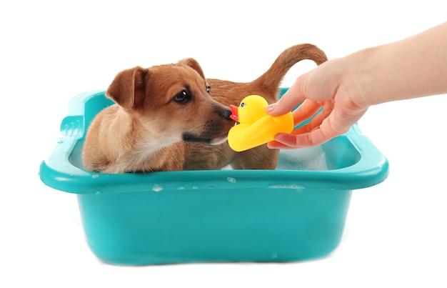 Cachorro con pato de juguete en el baño aislado en blanco