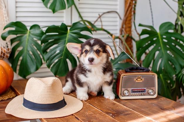 Cachorro pembroke welsh corgi sentado en un sombrero de paja descansa